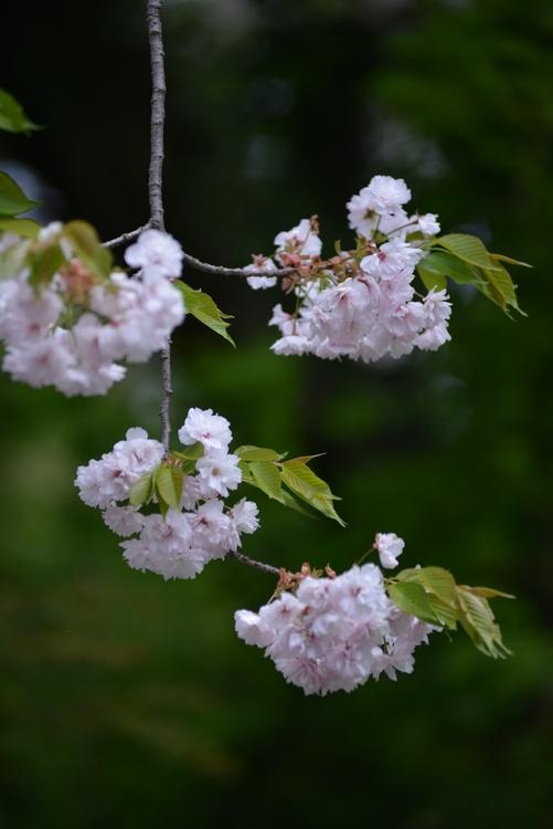 八重桜 Ⅱ-2
