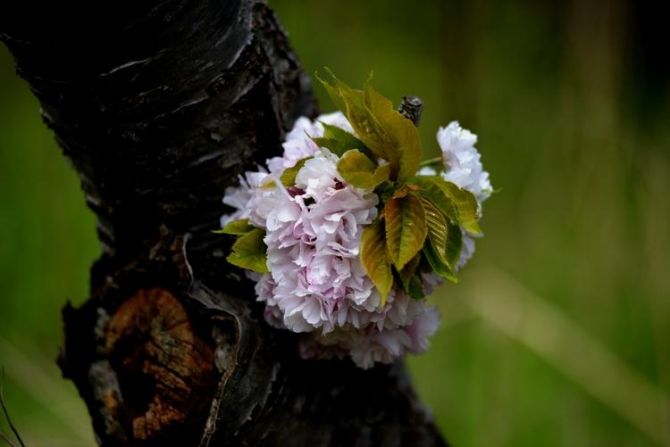 八重桜 Ⅱ-3