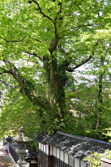 神社 新緑の候-1
