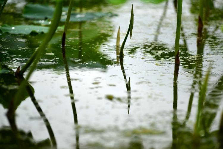 雨のレンコン畑-5