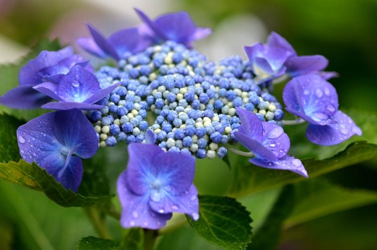 雨と紫陽花-1