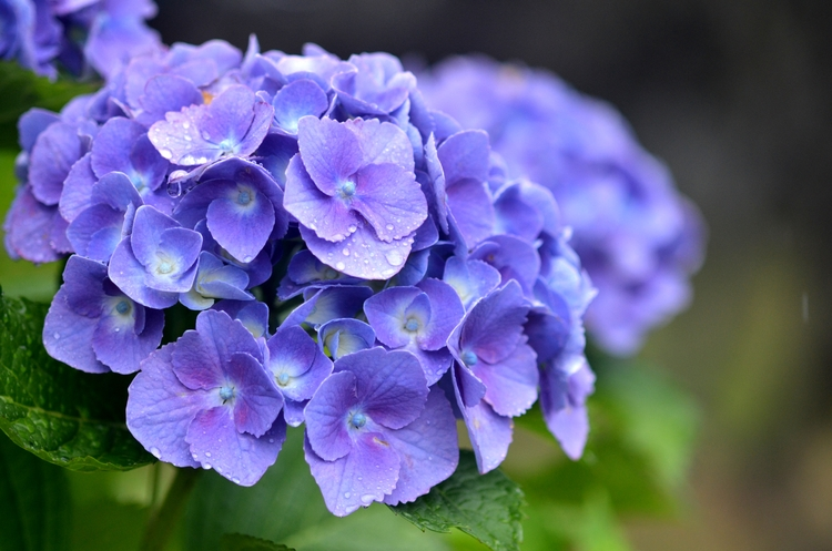 雨と紫陽花-2