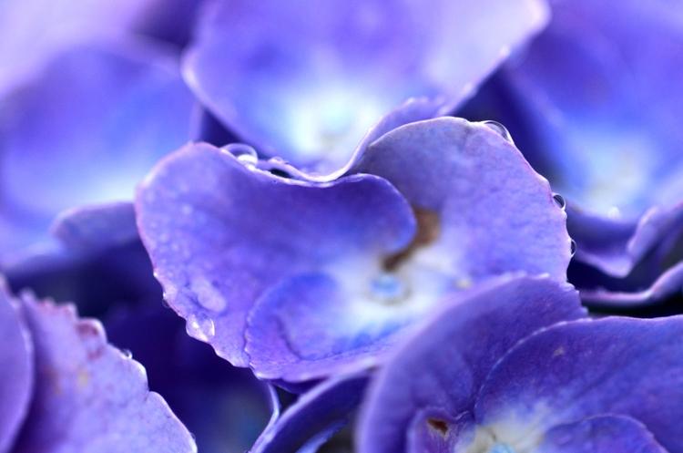 雨と紫陽花-3