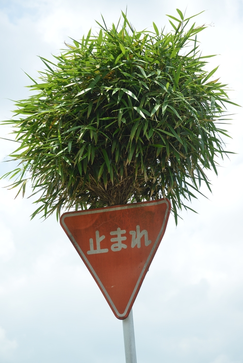 ど根性竹-3