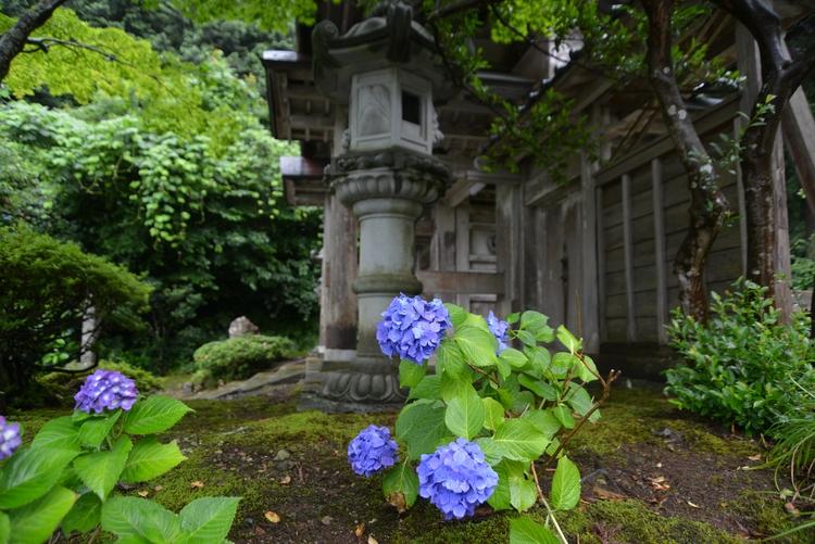 寺の紫陽花-1