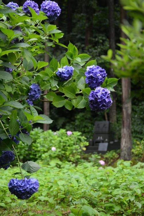 寺の紫陽花-2