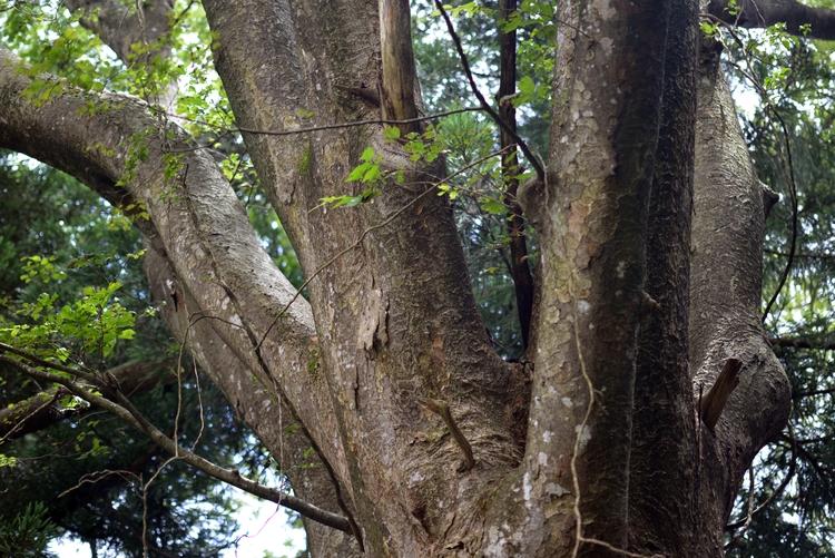 神社の大樹-3