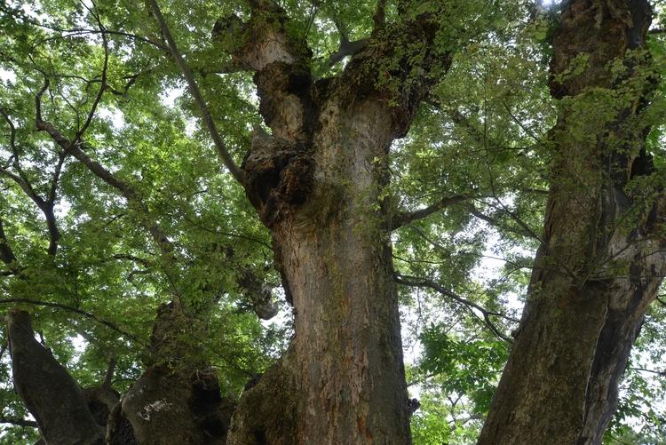 神社の大樹-2