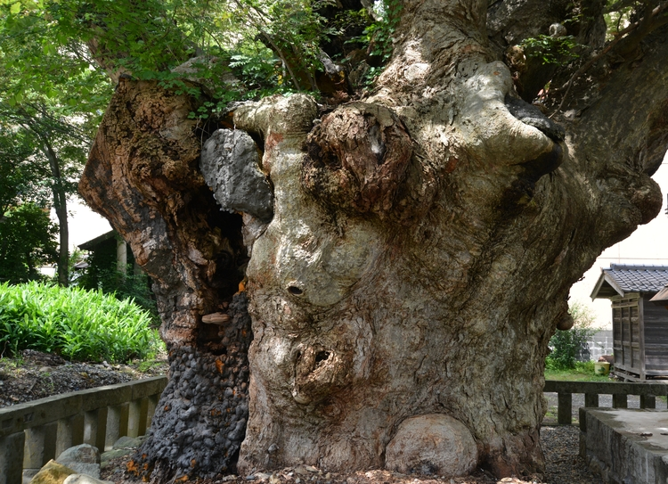 神社の大樹-1