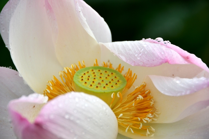 花 レンコン畑-b