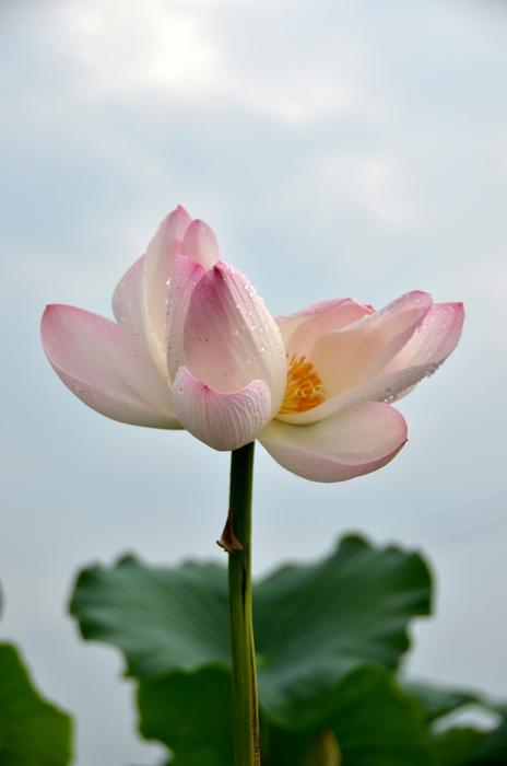 花 レンコン畑-c