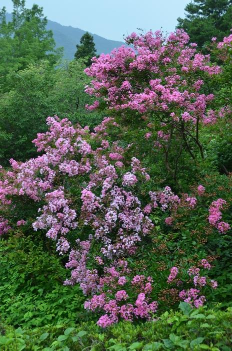 サルスベリの花-1