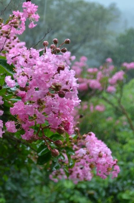 サルスベリの花-3