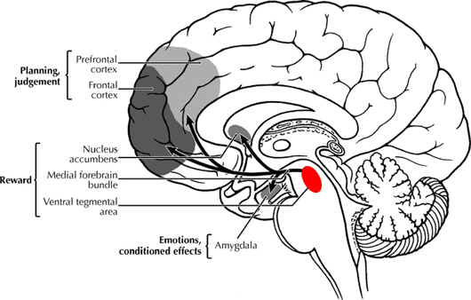 pleasure centers in the mammalian brain The medulla oblongata is located in the brain stem, anterior to (in front of) the cerebellum this is a cone-shaped, neuronal (nerve cell) mass in the hindbrain.