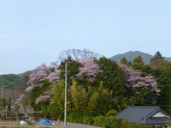 桜(栗林神社)