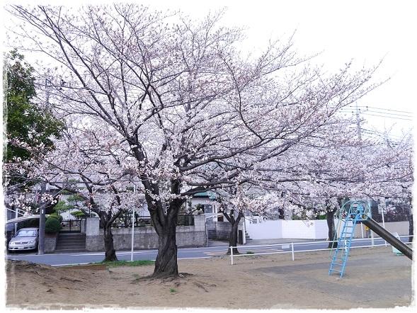 P1050675suzumekouennnosakura.jpg