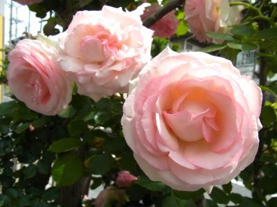 よそ薔薇2