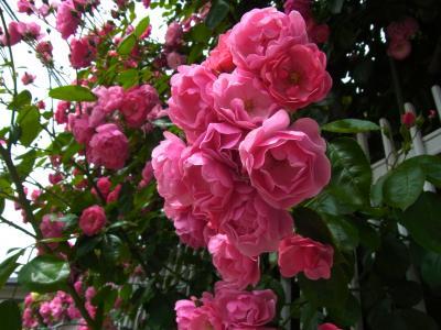 よそ薔薇1