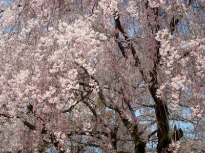 20130405大阪城枝垂れ桜1