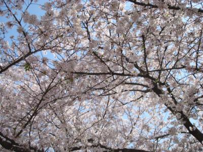 20130405大阪城桜3