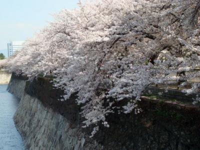 20130405大阪城桜1