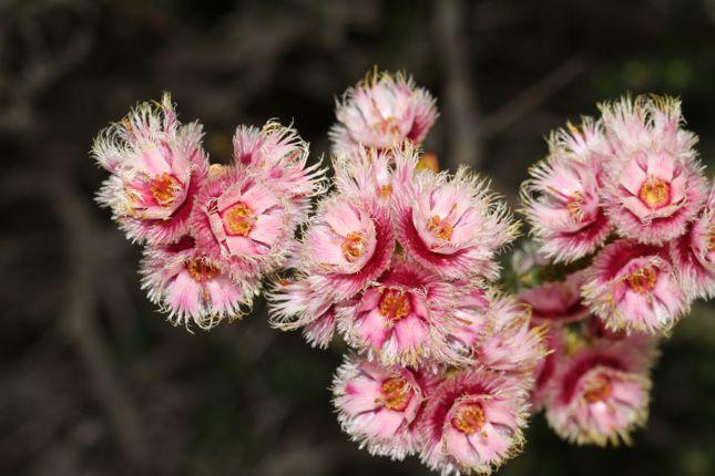 10:19Verticordia ovalifolia花