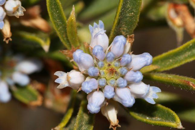 11:30Conospermum nervosum花