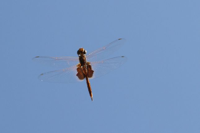 2:1Tramea stenoloba飛翔