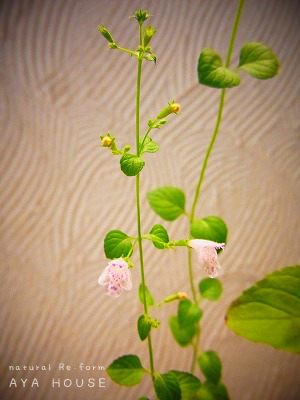 ミント開花