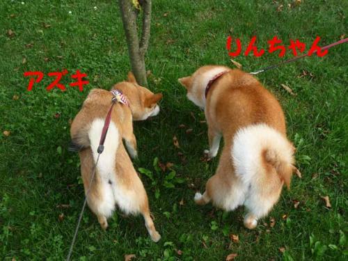 P1260593-AZUKI_20130504023813.jpg