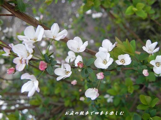 pinkuyukiyanagi2_20130319102514.jpg