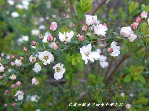 pinkuyukiyanagi3_20130319102516.jpg