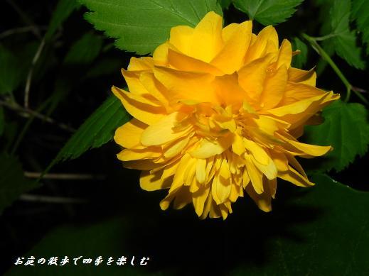 yamabuki2_20130417233246.jpg