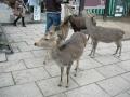 140104奈良公園の鹿1