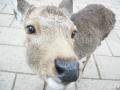 140104奈良公園の鹿2