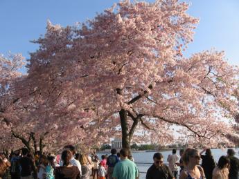 2012. 03 Sakura 100