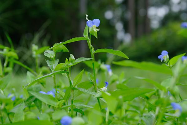 ツユクサ フリー画像 無料写真素材フリー「花ざかりの森」