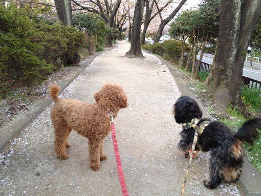 愛犬とお花見散歩 part2