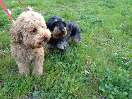 愛犬とお花見散歩