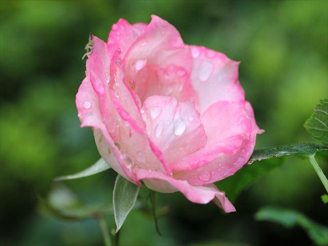 マクロで撮影 バラ 雨上がりでみずみずしい