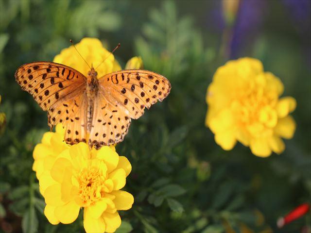 キアゲハ 蝶をマクロで撮ると羽の損傷に驚かされる