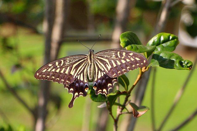 今日最も嬉しかったこと アゲハ蝶に出会った!