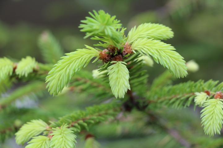 モミの木 新芽