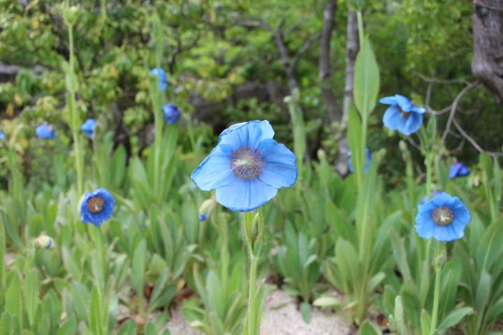 ブルーポピー:ヒマラヤの青いケシ