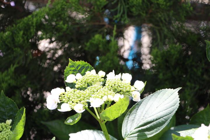 アジサイ 外側から花が咲く