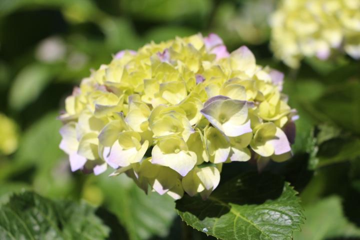 アジサイ 開花