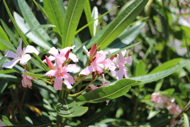 夾竹桃 葉が竹、花が桃 暑さに強い、毒性あり