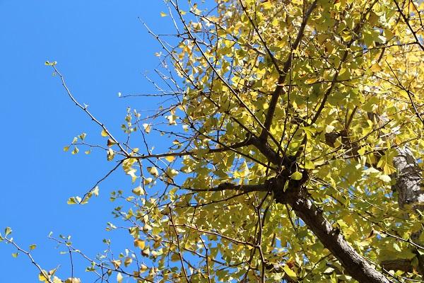 秋空に銀杏