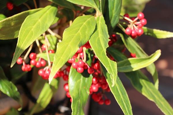 マンリョウの赤い実がいっぱい