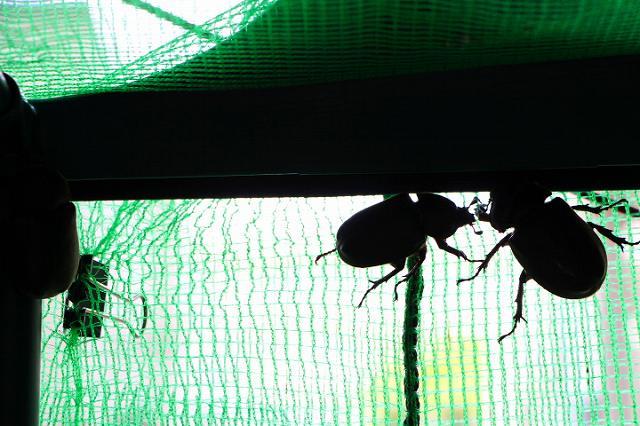 カブトムシ(雌)
